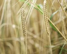 barley-4353735