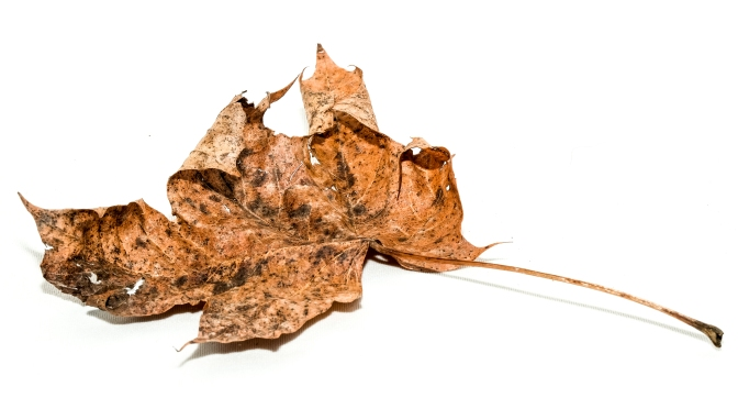 Autumn Leaf Still Life