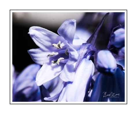 BluebellUP.jpg