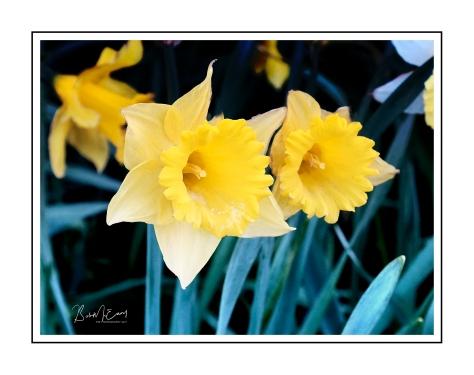 Daffodils_pe_pe