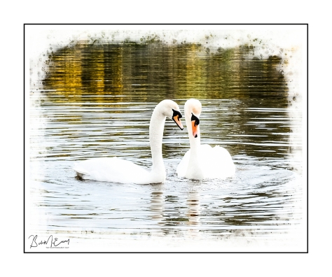 SwansUP.jpg